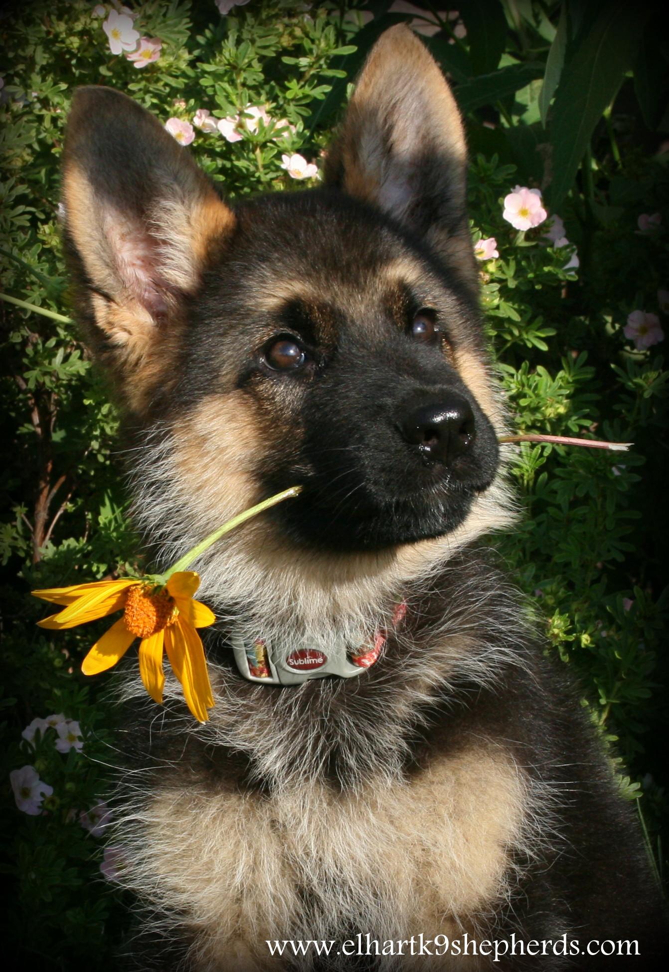 Elhart K-9's | German Shepherd Dogs
